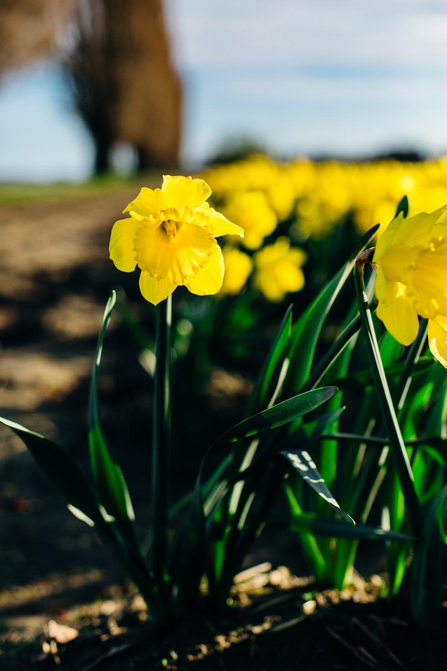 003-skagit-vallery-mount-vernon-washington-daffodils-tulip-festival-katheryn-moran-photography.jpg