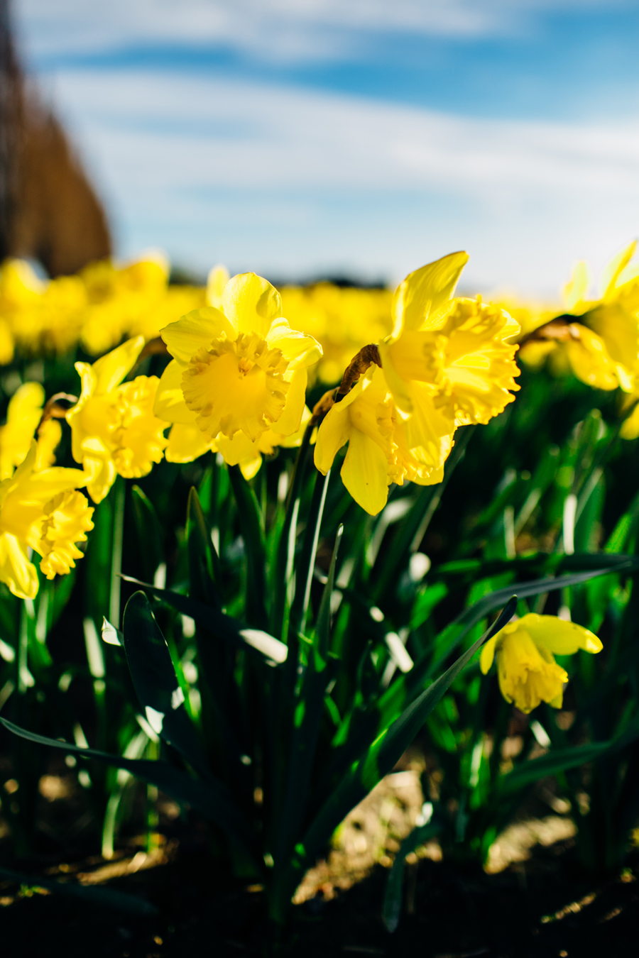 004-skagit-vallery-mount-vernon-washington-daffodils-tulip-festival-katheryn-moran-photography.jpg