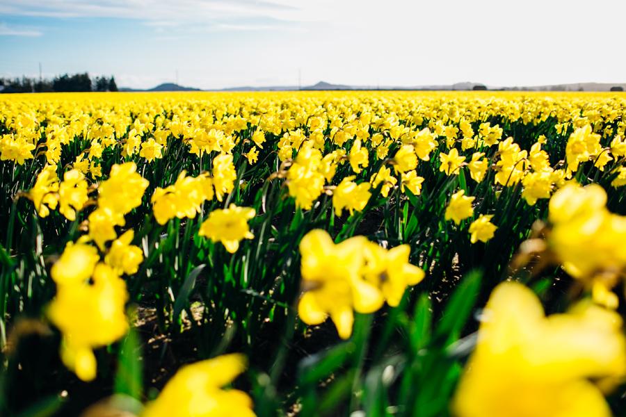 005-skagit-vallery-mount-vernon-washington-daffodils-tulip-festival-katheryn-moran-photography.jpg