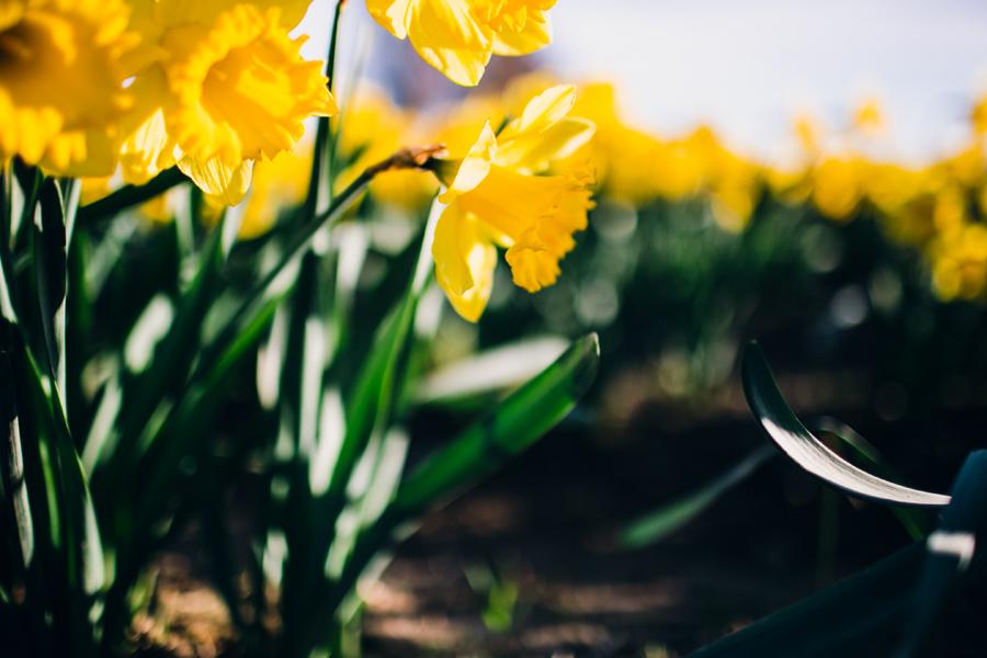 007-skagit-vallery-mount-vernon-washington-daffodils-tulip-festival-katheryn-moran-photography.jpg