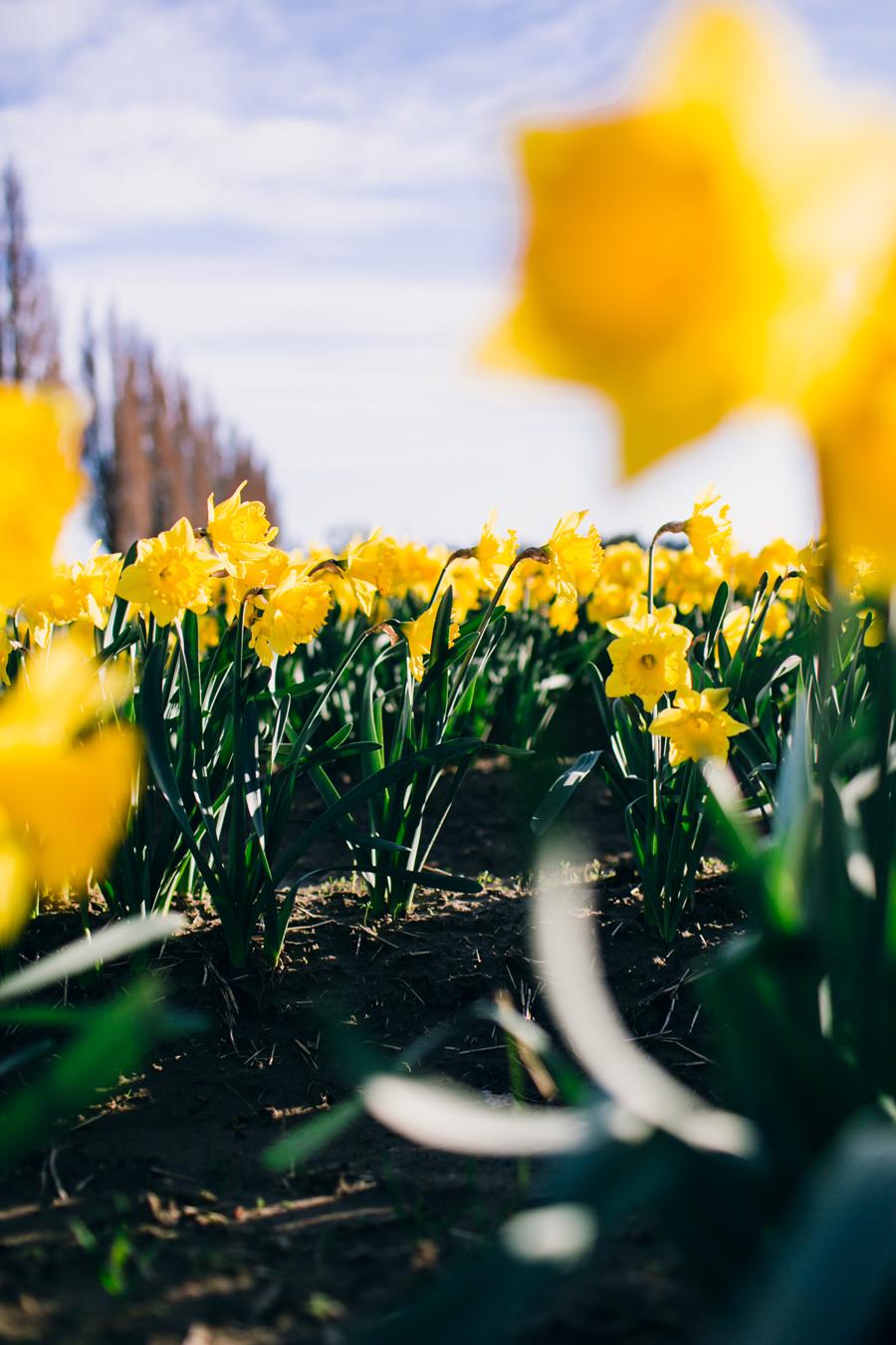 008-skagit-vallery-mount-vernon-washington-daffodils-tulip-festival-katheryn-moran-photography.jpg