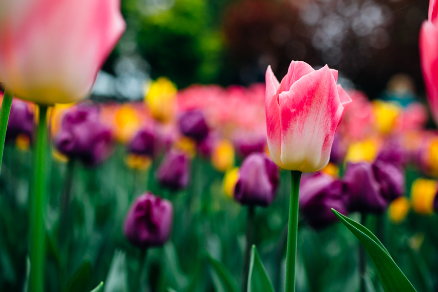 005-bellingham-skagit-photographer-photo-tulip-festival-katheryn-moran.jpg
