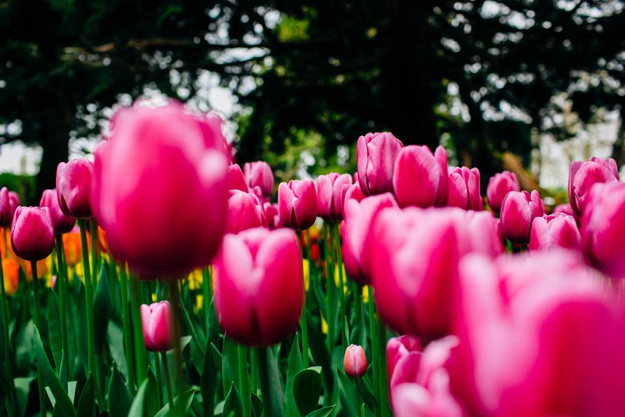 011-bellingham-skagit-photographer-photo-tulip-festival-katheryn-moran.jpg