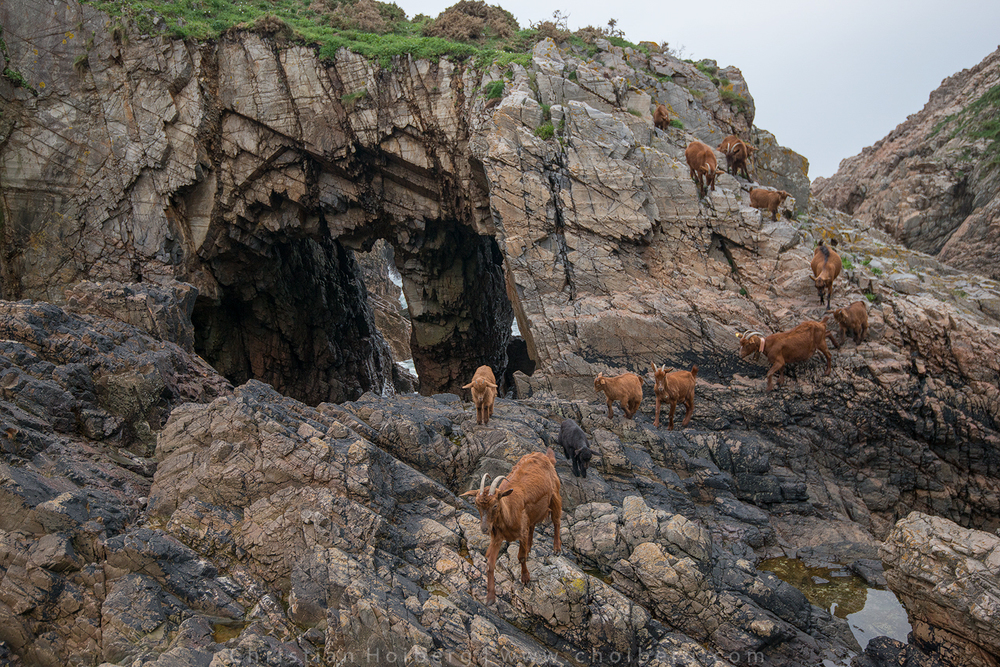 Goats climbing cliffs