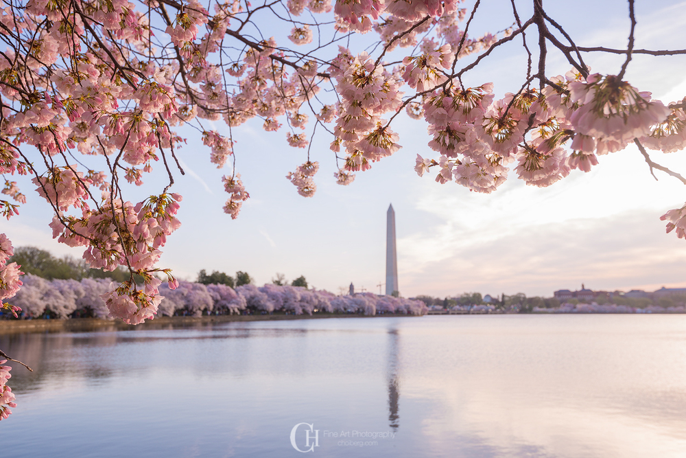 Washington Monument glowing in the morning sun surrounded by Cherry Blossoms
