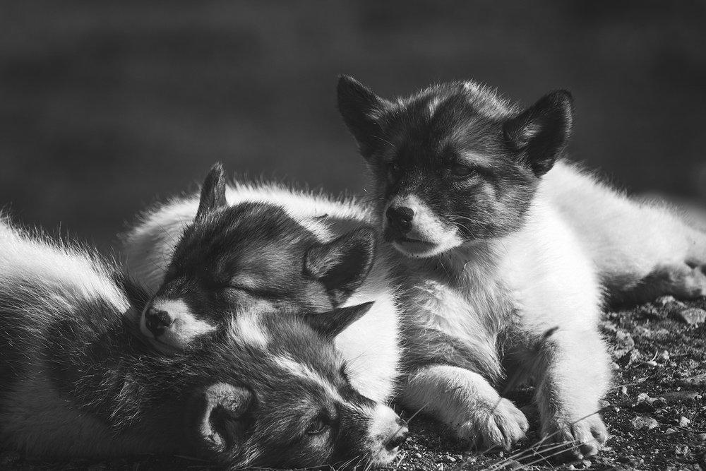 Greenland husky puppies