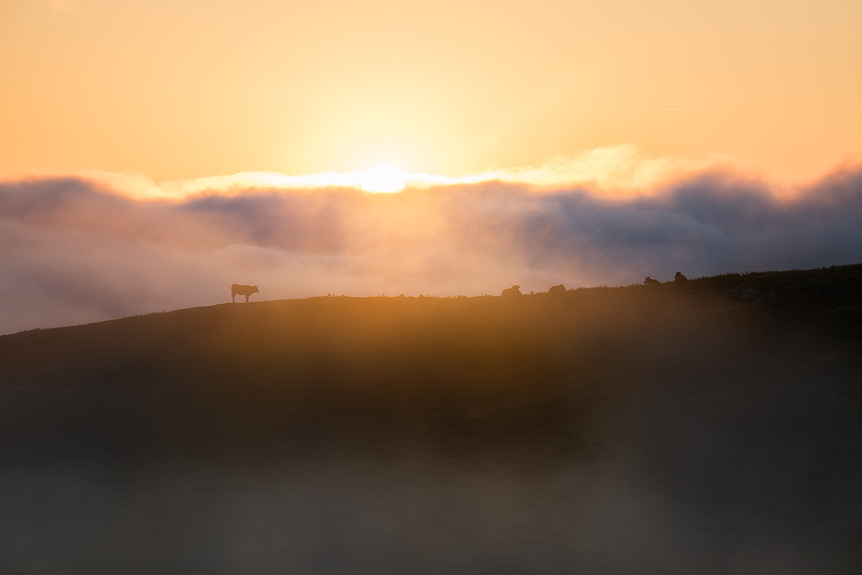 Picos-de-Europa-Cow-Sunrise.jpg