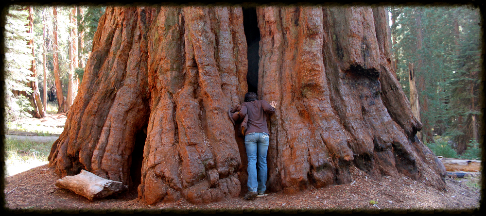 A true giant - a sequoia at Sequoia National Park