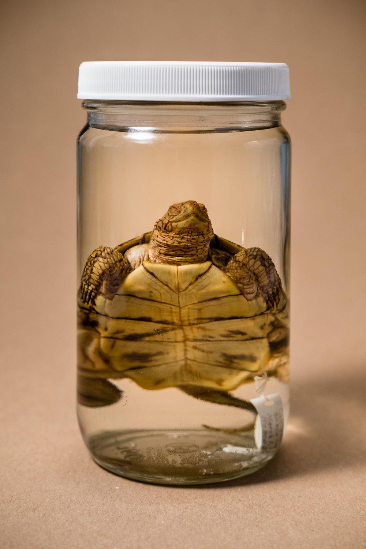 Western Pond Turtle (Actinemys marmorata)