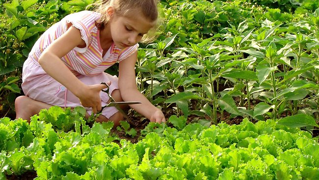 085150-young-girl-cropping-lettuce.jpg
