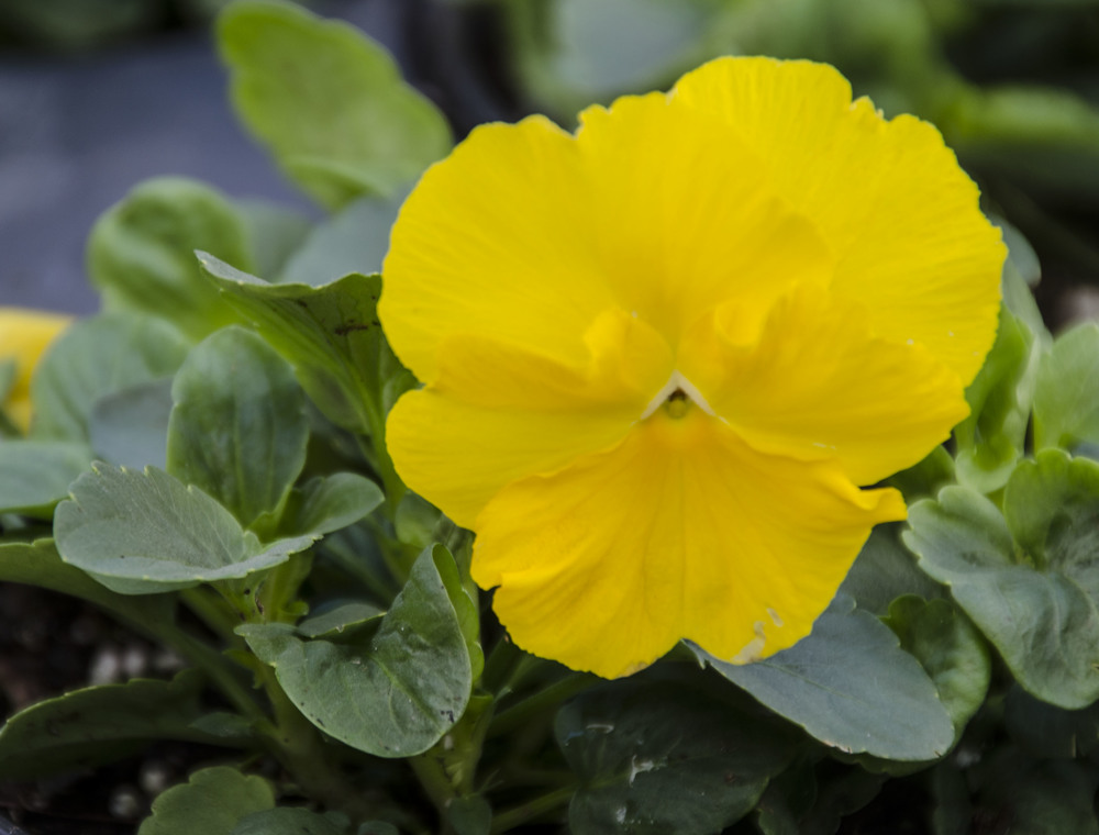 Clear Yellow Pansy