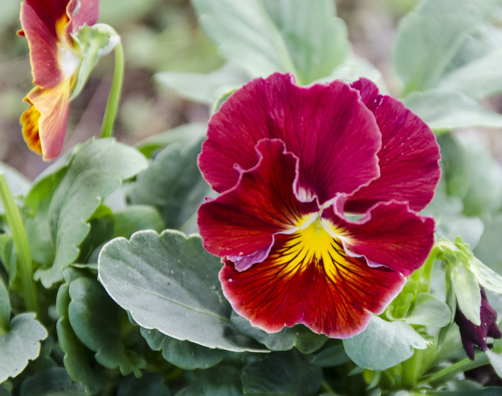 Copperfield Pansy