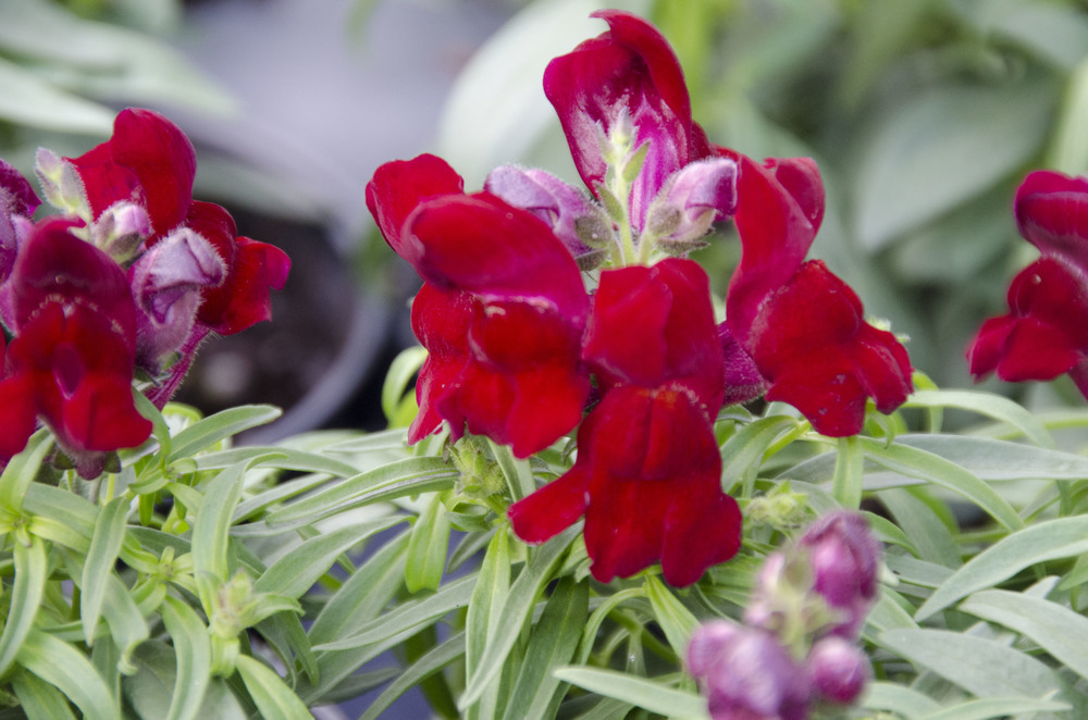 Montego Red Snap Dragon