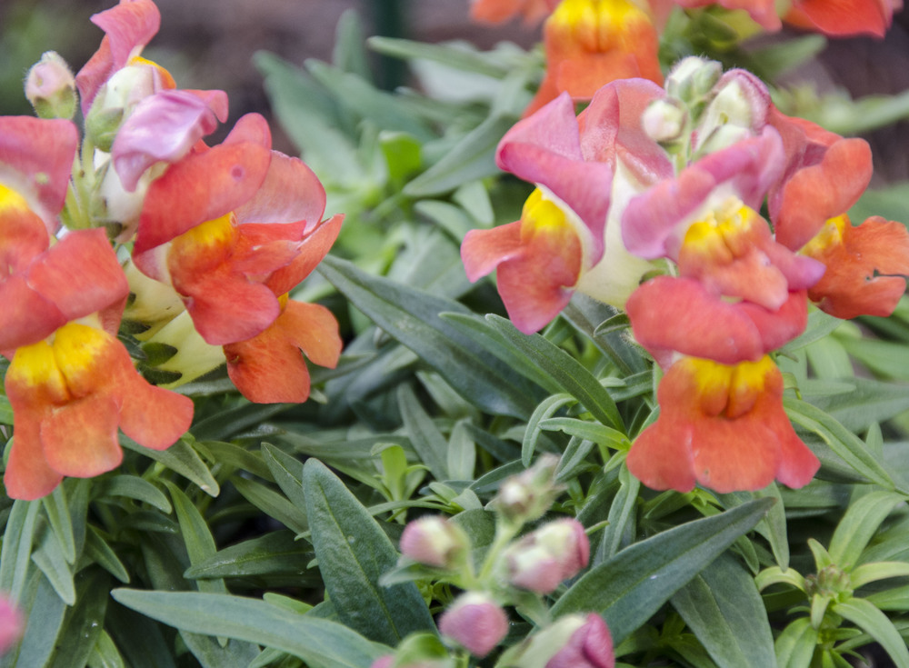Montego Orange Bicolor Snap Dragons