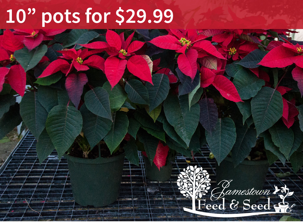 10 in poinsettias-01.jpg