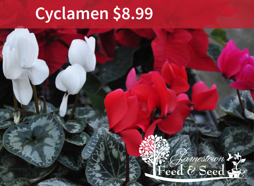 cyclamen-01.jpg