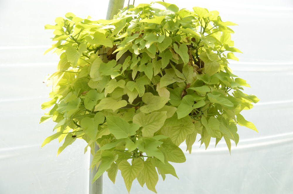 Hanging Sweet Potato Vine