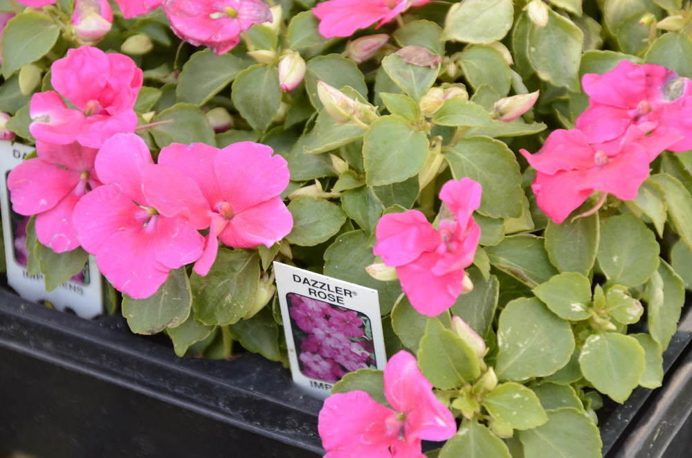 Dazzler Rose Impatiens