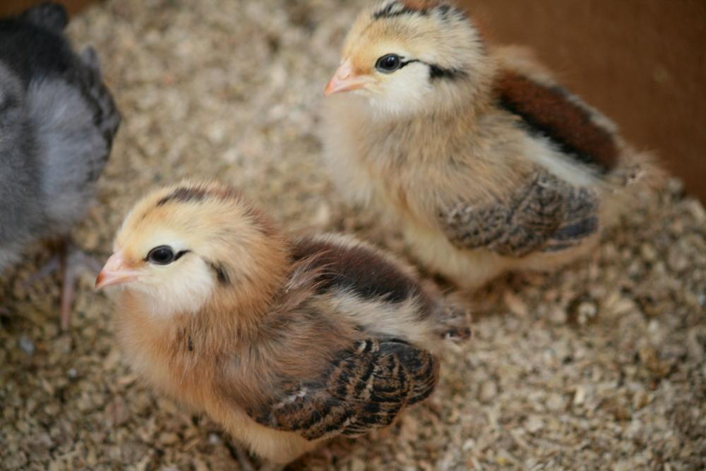 ameraucana chicks jpg