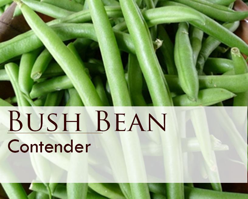 Seed web img_Contender Bush Bean.jpg