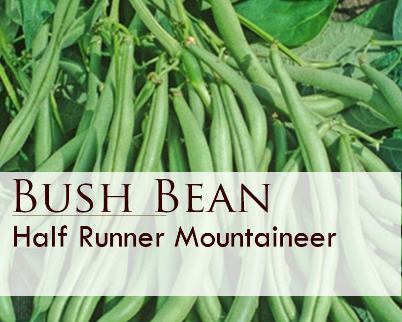 Seed web img_Mountaineer Half Runner Bush Bean.jpg