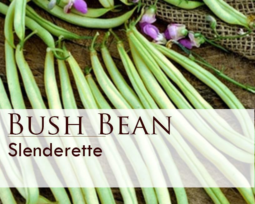 Seed web img_Slenderette Bush Bean.jpg