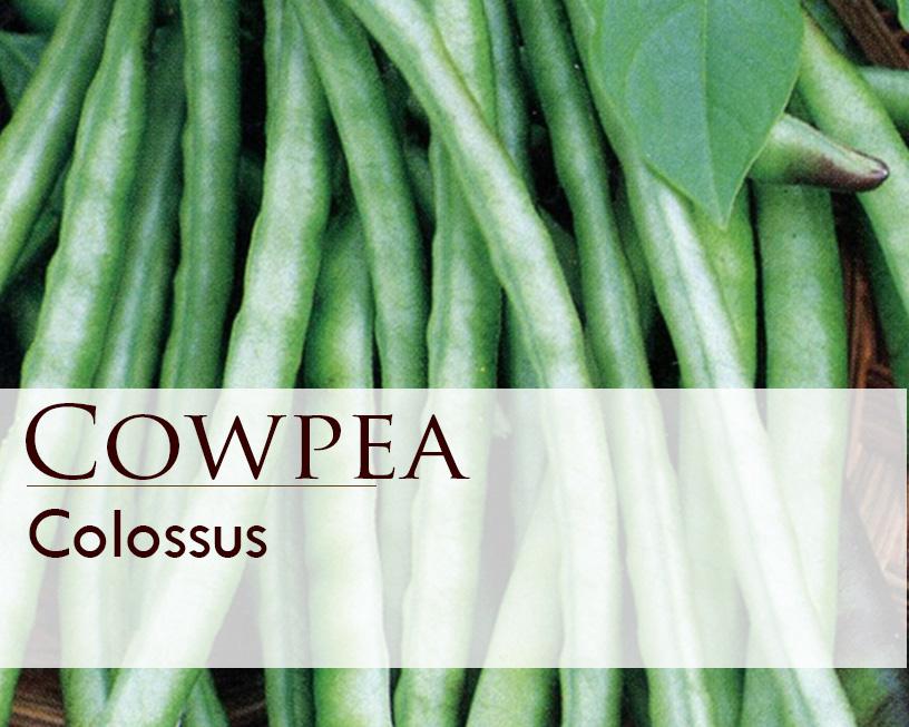 Seed web img_Cowpea Colossus.jpg