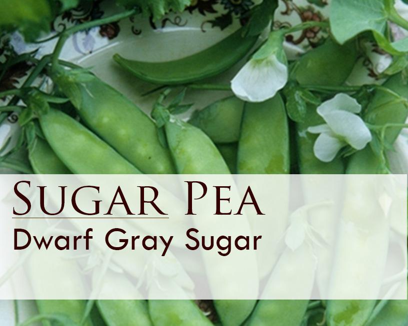 Seed web img_Dwarf Gray Sugar.jpg