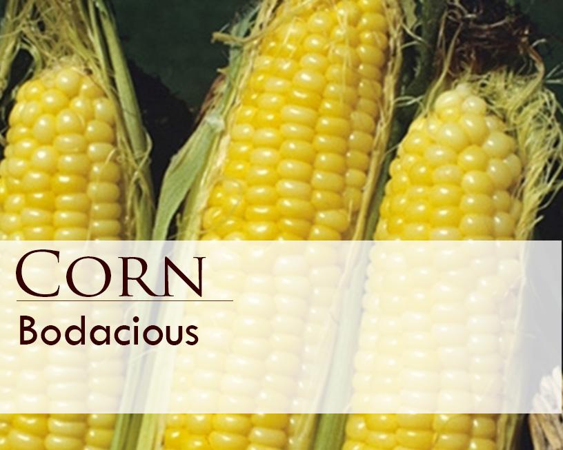 Seed web img_Corn_Bodacious.jpg