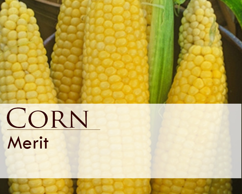 Seed web img_Corn_Merit.jpg