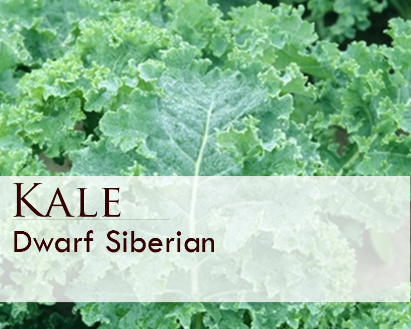 Seed web img_Dwarf Siberian Kale.jpg
