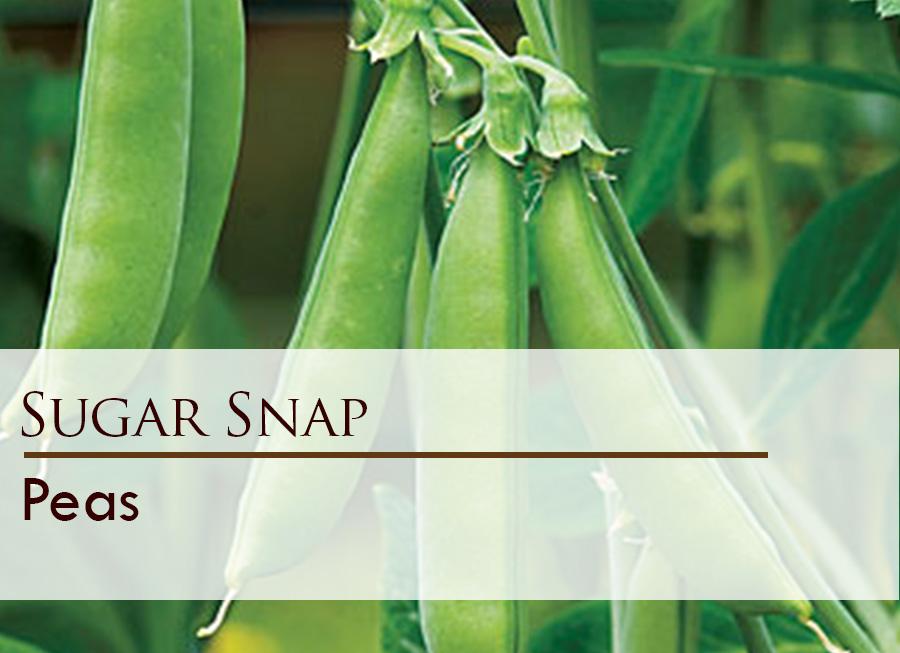 Seed web img_Sugar Snap.jpg