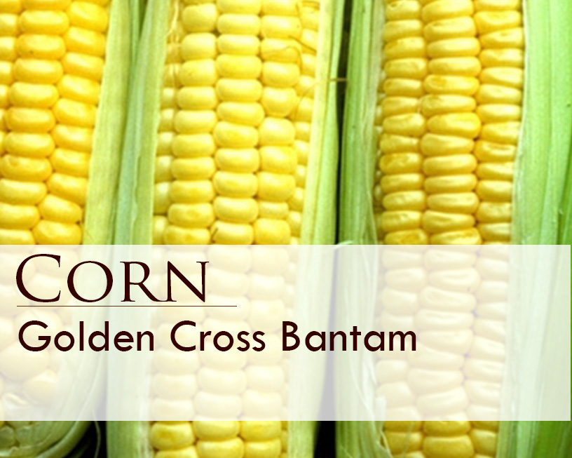 Seed web img_Corn_Golden Cross Bantam.jpg