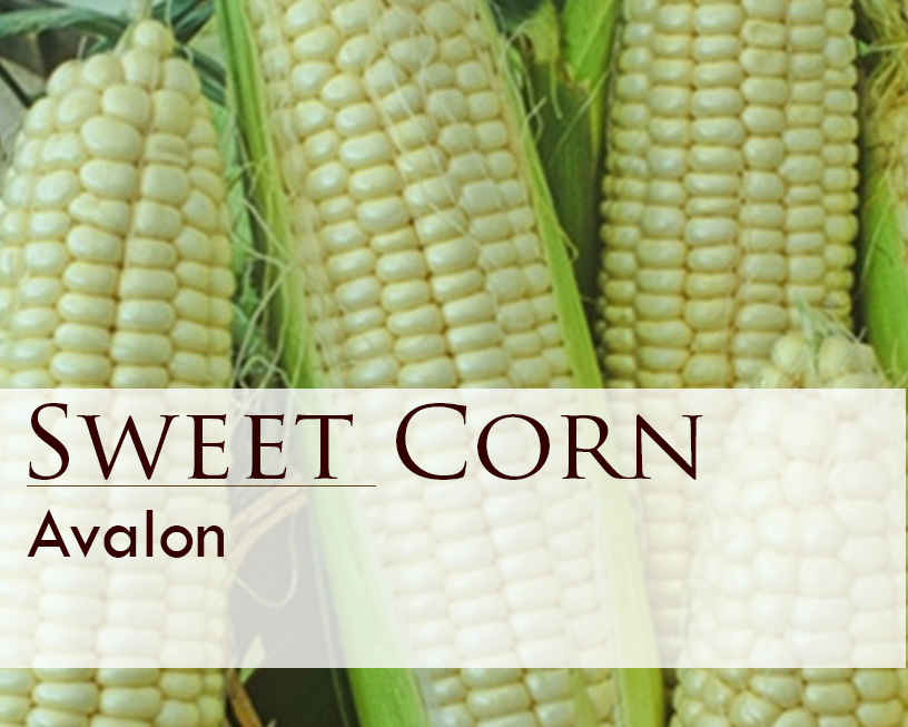 Seed web img_Sweet Corn_Avalon.jpg