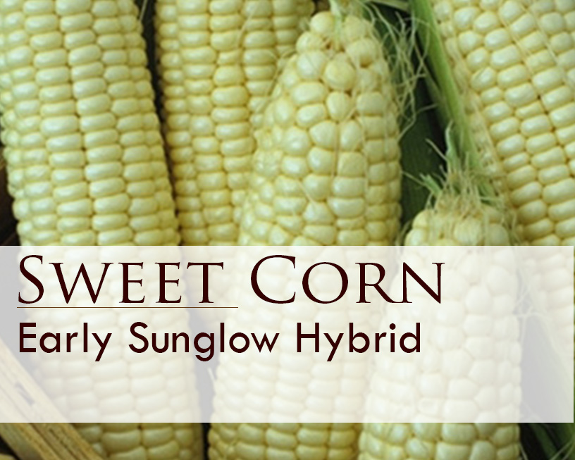 Seed web img_Sweet Corn_Early Sunglow Hybrid.jpg