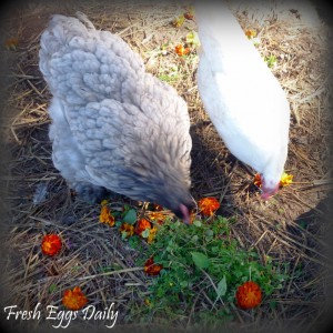 Fresh parsley (shown here with marigolds, lemon balm, sage, and marjoram) is full of vitamins, plus it encourages hens to lay.