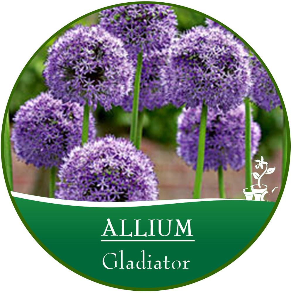 bulb circle_Allium.jpg