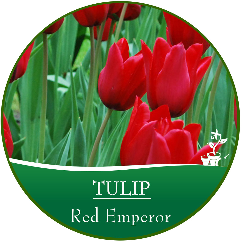 bulb circle_Tulip.jpg