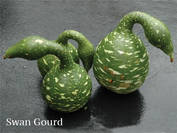 swan-gourdS.jpg