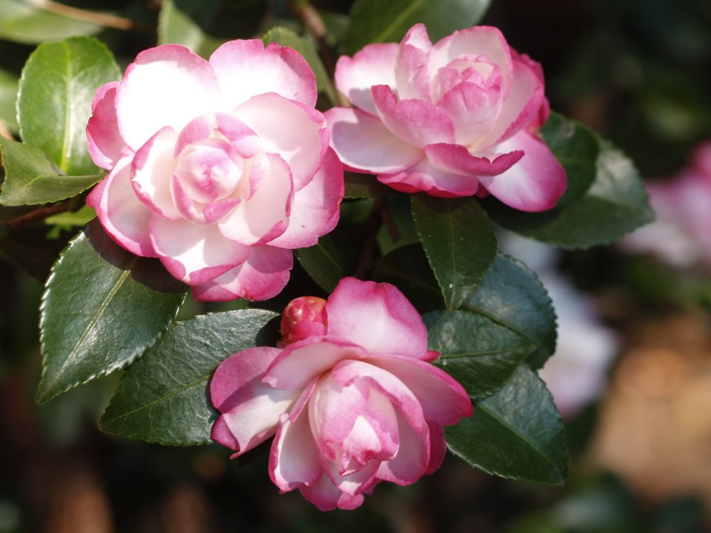 Leslie Ann Camellia Sasanqua.jpg