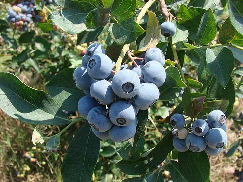 TifBlue Rabbit Blueberry bush.jpg
