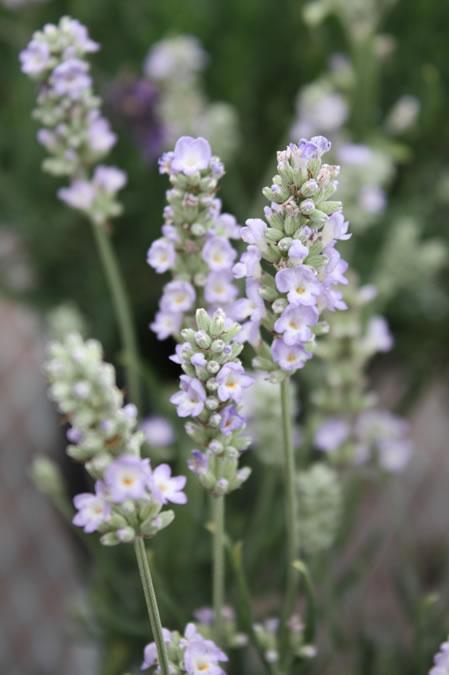 Ellegance Ice Lavender