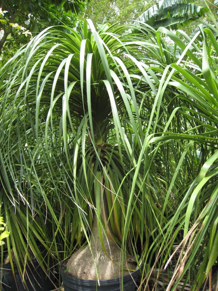 Beaucarnea-recurvataPonytail-Palm-768x1024.jpg
