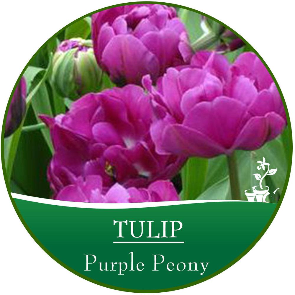 Purple Peony.jpg
