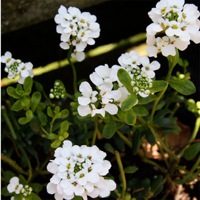 candytuft-iberis-l.jpg