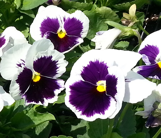 MATRIX-WHITE-BLOTCH pansies.jpg