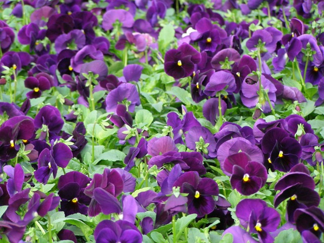 pansy-matrix-purple.jpg