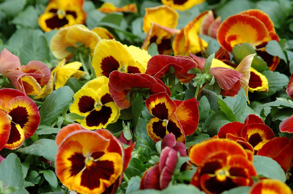 fire pansies.jpg