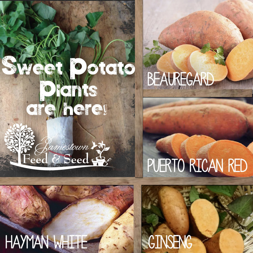 sweet potatoes-01.jpg