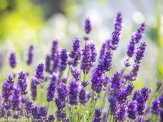 Lavendel2013101.jpg